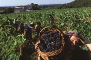 Сорта винограда в Италии