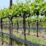 Вино и виноградная лоза
