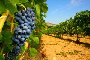 Природные условия и сорта винограда Бордо