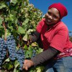 Основные сорта винограда в ЮАР