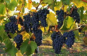 Основные сорта винограда в Австралии