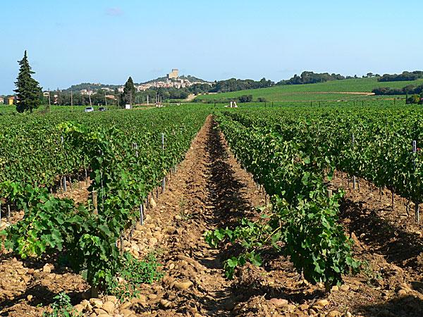 сорта винограда Лангедок- Руссильон